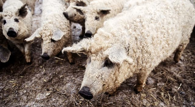 Nature Trivia Question: Which breed of domestic pig is depicted in the photo below?