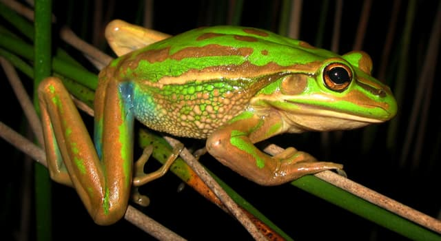 Nature Trivia Question: Which frog is in the picture?