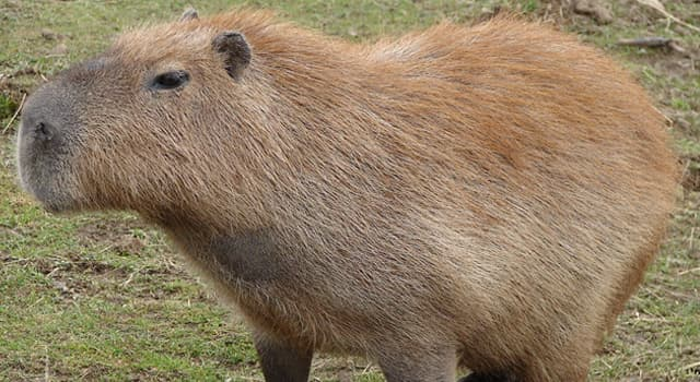 Nature Trivia Question: Which of these descriptions is not correct about the capybara?