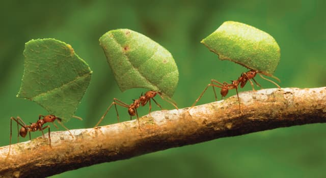 Nature Trivia Question: Which of these do ants use to perceive smells?
