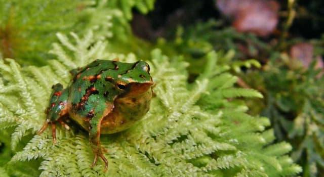 Naturaleza Pregunta Trivia: ¿Cuál es la característica más sorprendente de la rana de Darwin?