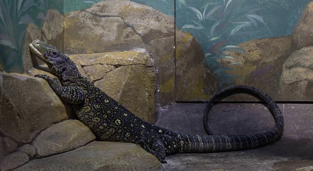 Nature Trivia Question: Which of these monitor lizards is also known as a crocodile monitor?