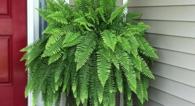 Nature Trivia Question: Which type of fern is this?