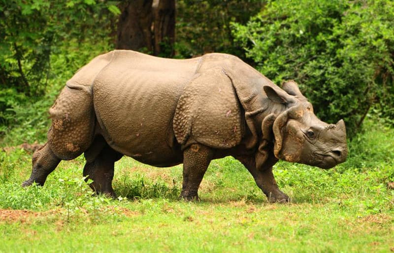 Nature Trivia Question: Which of these facts about rhinoceros is wrong?