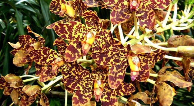 природа Запитання-цікавинка: Яку орхідею також називають королевою орхідей?