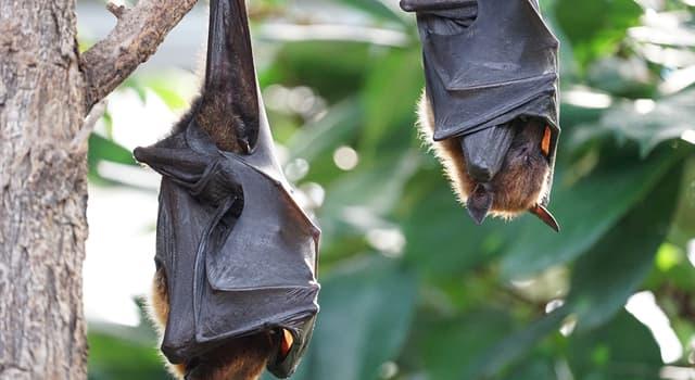 природа Запитання-цікавинка: Чим харчується велика частина видів кажанів?