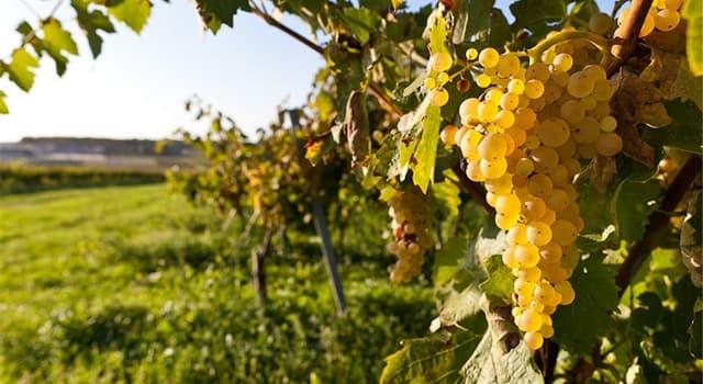 Культура Запитання-цікавинка: Що з перерахованого - класичний сорт білого винограду і однойменне сортове вино?