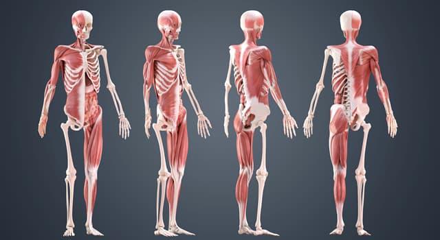 Наука Запитання-цікавинка: Як називають суглоб, що з'єднує стегнову кістку, кістку і надколенник?