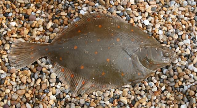 природа Запитання-цікавинка: Яка риба відрізняється сильно сплющеним тілом і розташуванням очей на одній стороні?