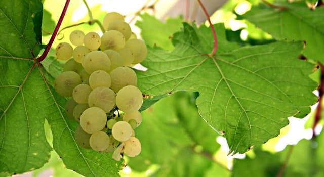 Культура Запитання-цікавинка: Яка країна є батьківщиною сорти винограду Совіньон блан?