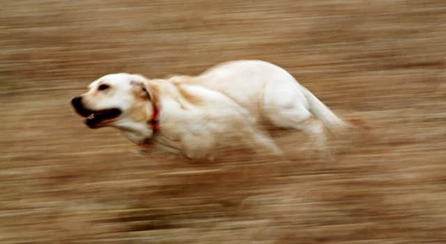 natura Pytanie-Ciekawostka: Która rasa psa jest uważana za najszybszą?