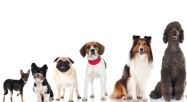 natura Pytanie-Ciekawostka: Który z tych psów ma niebieski/czarny język?