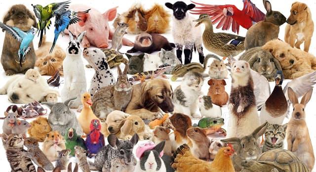 Naturaleza Pregunta Trivia: ¿Qué animal tiene una raza llamada Romney?