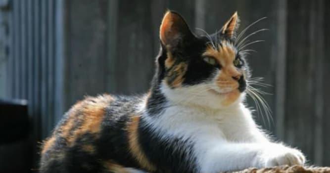 natura Pytanie-Ciekawostka: Dlaczego większość kotów szylkretowych jest kotkami?