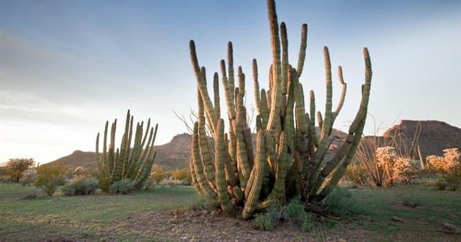 natura Pytanie-Ciekawostka: Gdzie rośnie Organ Pipe Cactus?