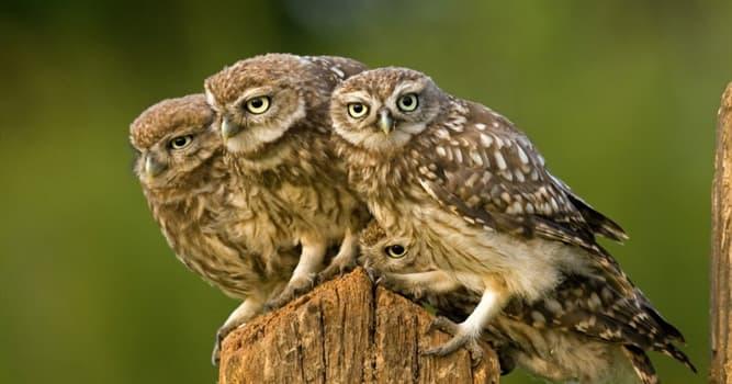 natura Pytanie-Ciekawostka: Jak nazywa się jedna z dwóch rodzin ptaków z rzędu sów?