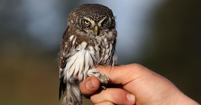 natura Pytanie-Ciekawostka: Jak nazywa się najmniejsza sowa świata?