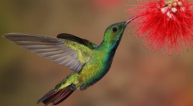 Naturaleza Pregunta Trivia: ¿Cuál de estos rasgos del colibrí es cierto?
