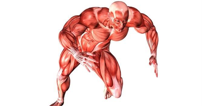 nauka Pytanie-Ciekawostka: Który mięsień naszego ciała podobno pracuje najciężej?