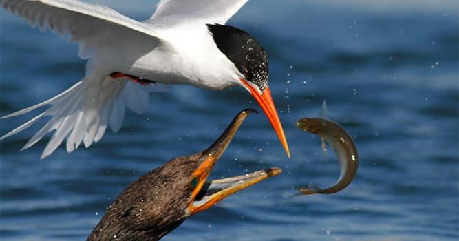 natura Pytanie-Ciekawostka: Który ptak podczas polowania rozkłada w przód skrzydła, tworząc z nich parasol nad głową?