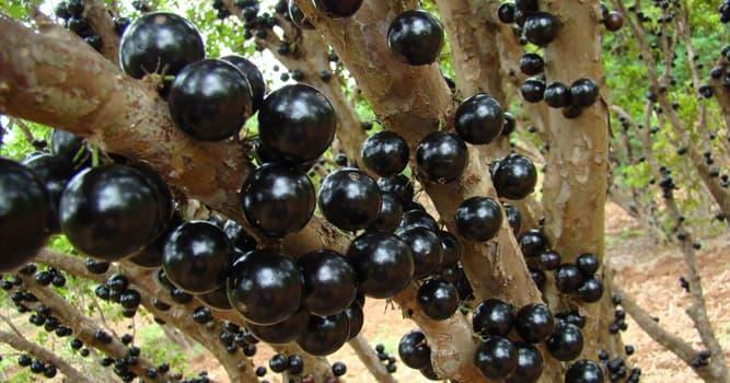 natura Pytanie-Ciekawostka: Owoce którego drzewa pokazano na zdjęciu?