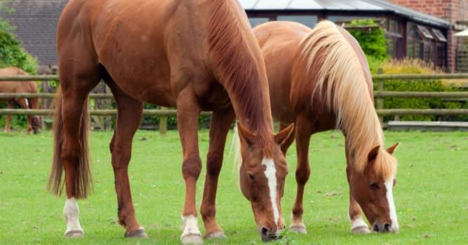nauka Pytanie-Ciekawostka: Jak tradycyjnie mierzy się wysokość konia?