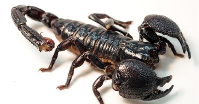 natura Pytanie-Ciekawostka: W której części swojego ciała skorpion przechowuje truciznę?