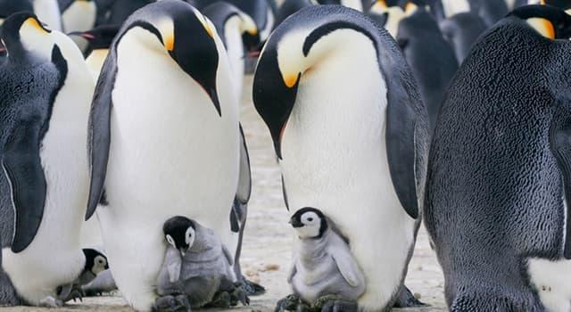 Naturaleza Pregunta Trivia: ¿Qué hace la hembra del pingüino emperador si pierde a su propia cría?
