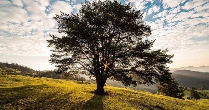 Natur Wissensfrage: Welcher Baum ist der dickste bekannte Baum der Welt?