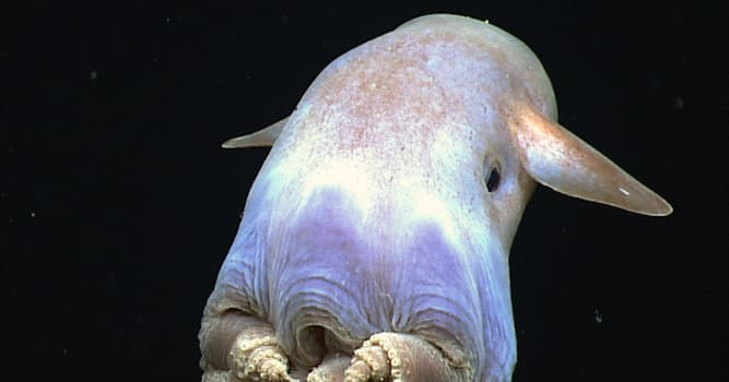 Nature Trivia Question: Which octopus lives at the deepest depths?