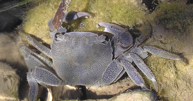 Nature Trivia Question: Which of these crabs is in the picture?