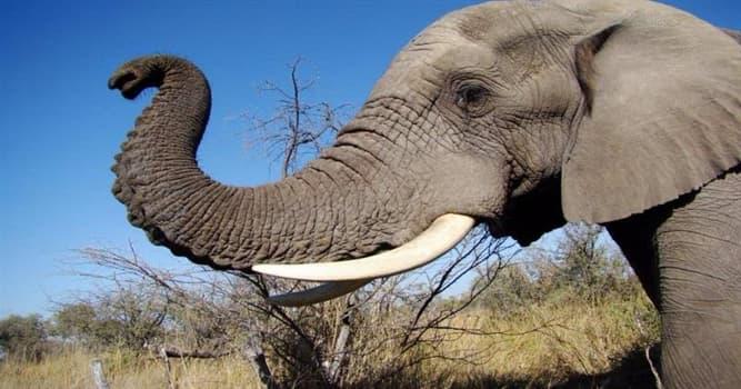 Natur Wissensfrage: Aus wieviel Muskelfasern besteht ein Elefantenrüssel?