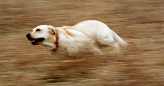 Natur Wissensfrage: Die Vertreter welcher Hunderasse sind die schnellsten Hunde der Welt?