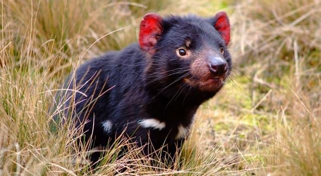 Naturaleza Pregunta Trivia: ¿Cuál de estos es el nombre de un animal nativo de la isla de Tasmania?