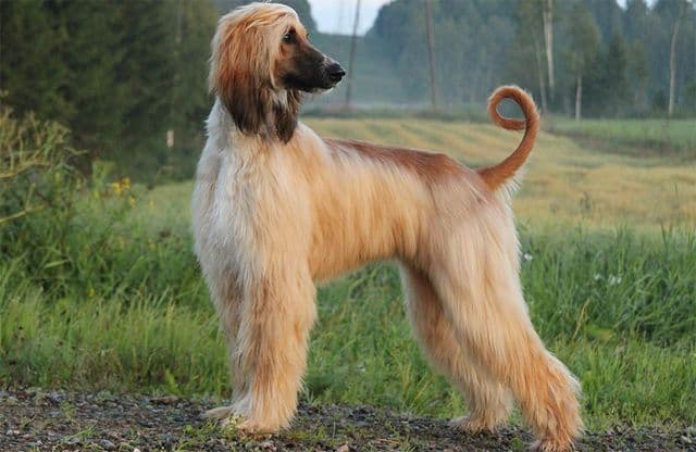 Science Trivia Question: Which breed was the first dog clone?