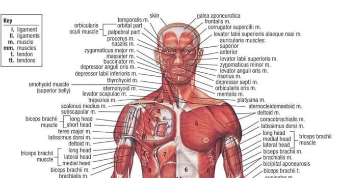 Wissenschaft Wissensfrage: Was kann von der Arteriosklerose betroffen werden?