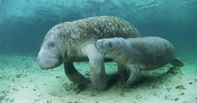 Natur Wissensfrage: Wer von diesen Meeresbewohnern der Ordnung Sirenia gilt heute als ausgestorben?