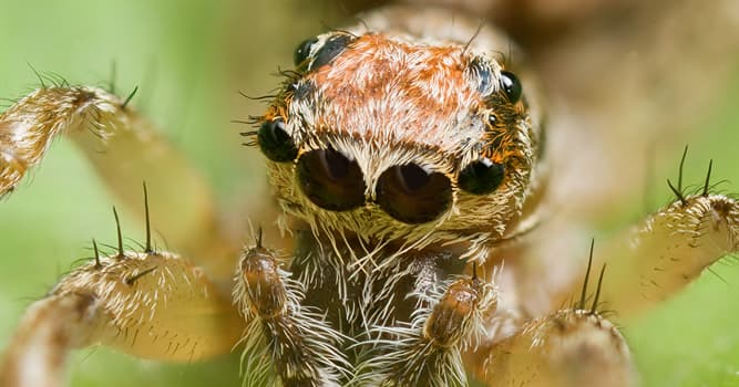 Nature Trivia Question: What is the largest spider by mass and size in the world?
