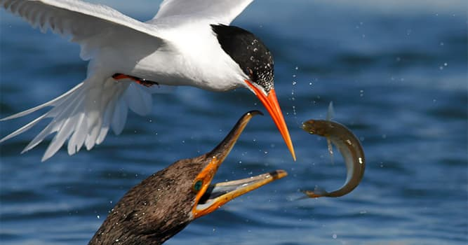 Nature Trivia Question: Which bird uses its wings to form a canopy when fishing?