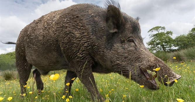 Nature Trivia Question: Which of these is a characteristic feature of wild boar piglets?