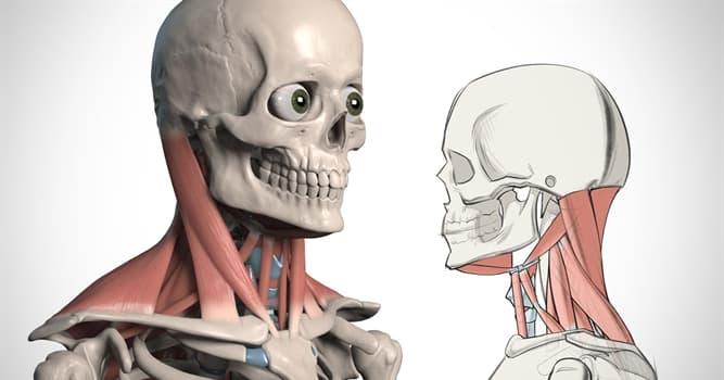 Сiencia Pregunta Trivia: ¿Cuál es uno de los músculos cervicales más grandes?