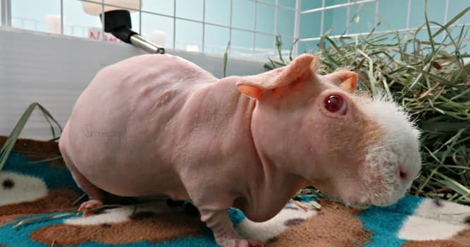 Nature Trivia Question: Which of these is the name of an almost hairless breed of a Guinea pig?