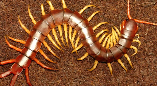 Naturaleza Pregunta Trivia: ¿A qué clase de animal pertenece la escolopendra?