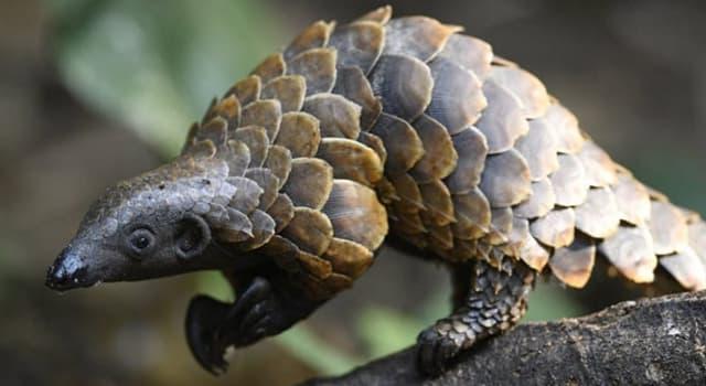 Naturaleza Pregunta Trivia: ¿A qué clase de mamífero placentario pertenece el pangolín arborícola?