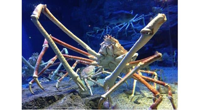 """Naturaleza Pregunta Trivia: ¿A qué orden de crustáceo pertenece el """"Cangrejo gigante japonés"""" también llamado """"Cangrejo de patas largas""""?"""