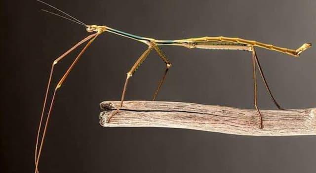 Naturaleza Pregunta Trivia: ¿A qué orden pertenece el Insecto palo?