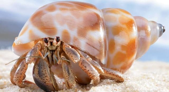 Naturaleza Pregunta Trivia: ¿Alrededor de cuántas especies de cangrejos ermitaños existen en el mundo?