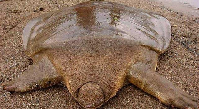 Naturaleza Pregunta Trivia: ¿Cómo es el nombre de la especie de tortuga de agua dulce que no posee caparazón rígido?