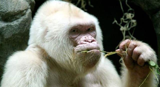 Naturaleza Pregunta Trivia: ¿Con qué nombre se conoció al único gorila albino del mundo del que se tenga noticia?