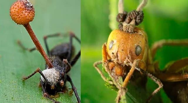 Naturaleza Pregunta Trivia: ¿Con qué se infectan las hormigas carpinteras que habitan en la selva tropical de Tailandia?